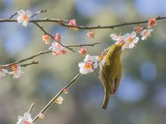 梅にメジロ ― Japanese White-eye and Plum blossom