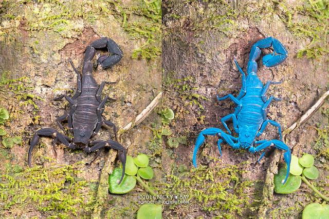 Scorpion (Tityus sp.) - Tityus_DSC_3389