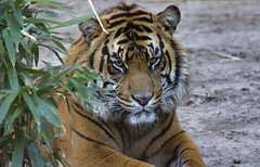 Smithsonian National Zoo Mar 9 2016  (1354) Sumatran Tiger