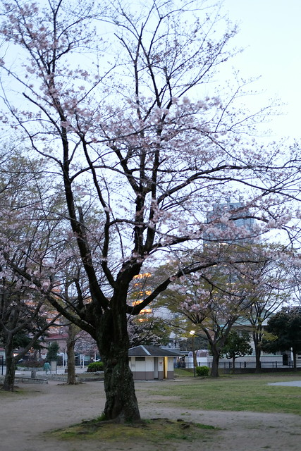 cherry blossoms at park