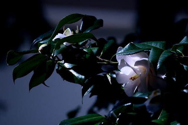 ツバキ Camellia -ハゴロモ(羽衣)