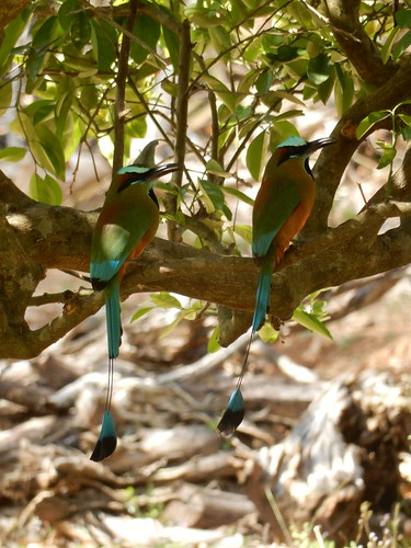 Izamal - turquoise-browed Motmot - 2