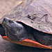 Red-bellied  turtle portrait