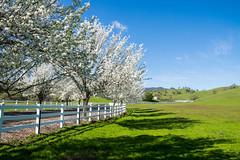 Cherry Blossoms - Fairfield - California - 21 February 2016