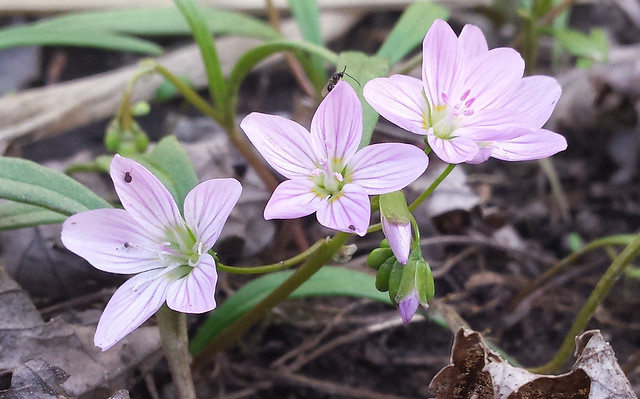 four pale pink flowers with purple stripes, two with bugs, and many buds