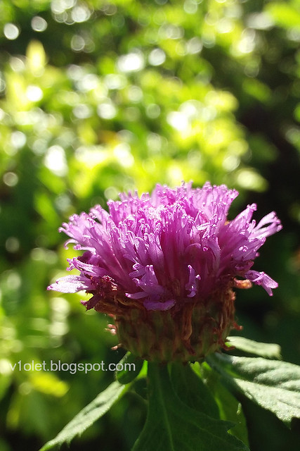 20150617_072223 flower4crw