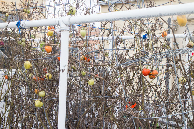 Picking Tomatoes in January_8
