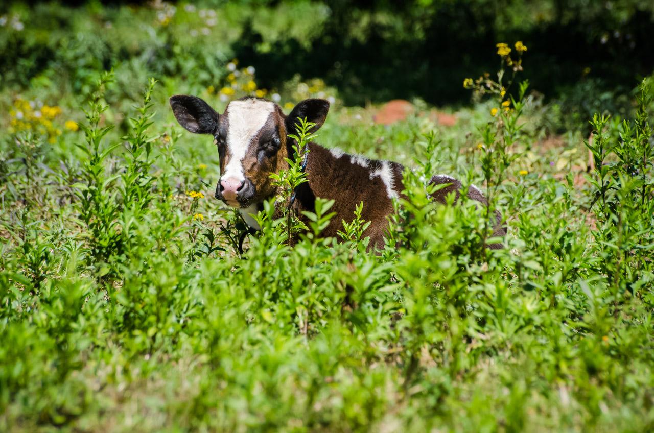 Una vaquilla descansa en el sol en una fresca mañana de sábado, en una quinta de la compañía de Ascurra del Departamento de Cordillera. (Elton Núñez)