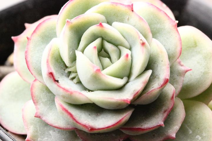 pulidonis × derenbergii