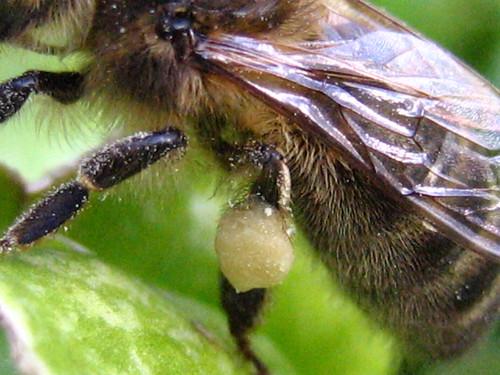 detalle de cestes de polen