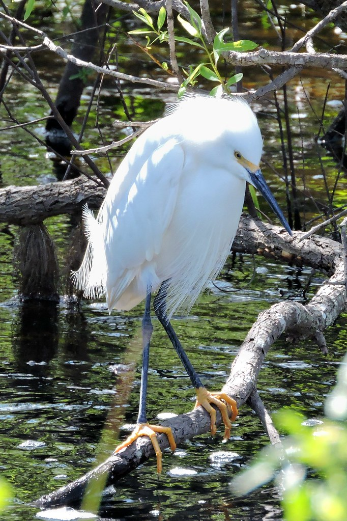 Snowy Egret #37