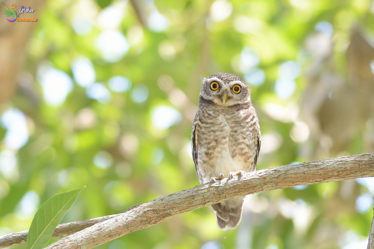 Spotted_Owlet_3032