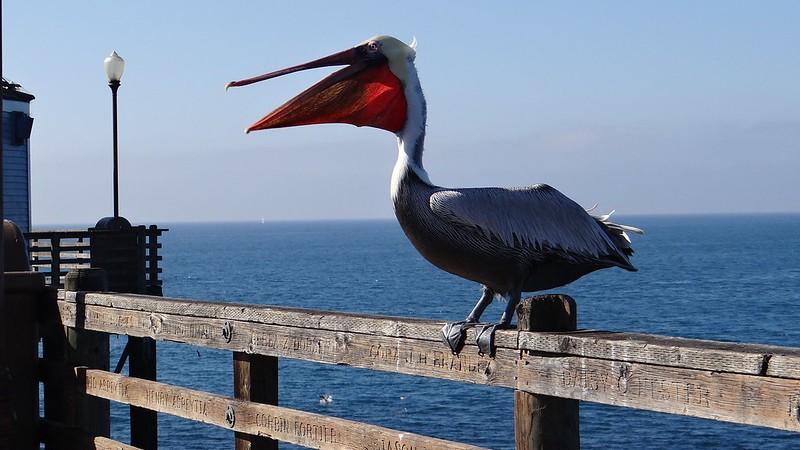 Pelicans by Alexis Padilla