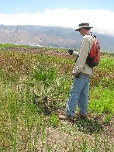 starr-130617-2467-Washingtonia_robusta-sapling_with_Forest_mapping-Kealia_Pond_NWR-Maui