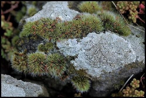Grimmia (6)