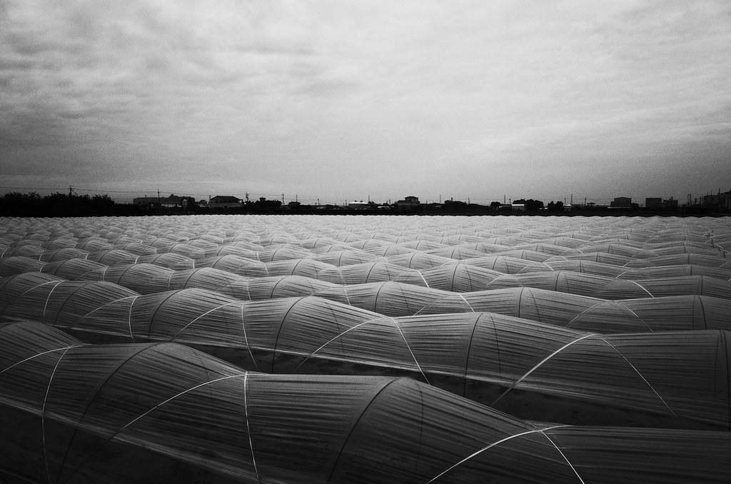 Cantaloupe field