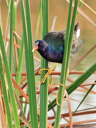 Purple Gallinule 093-20160318