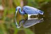 Tricolored Heron (Egretta tricolor) by Frank Shufelt