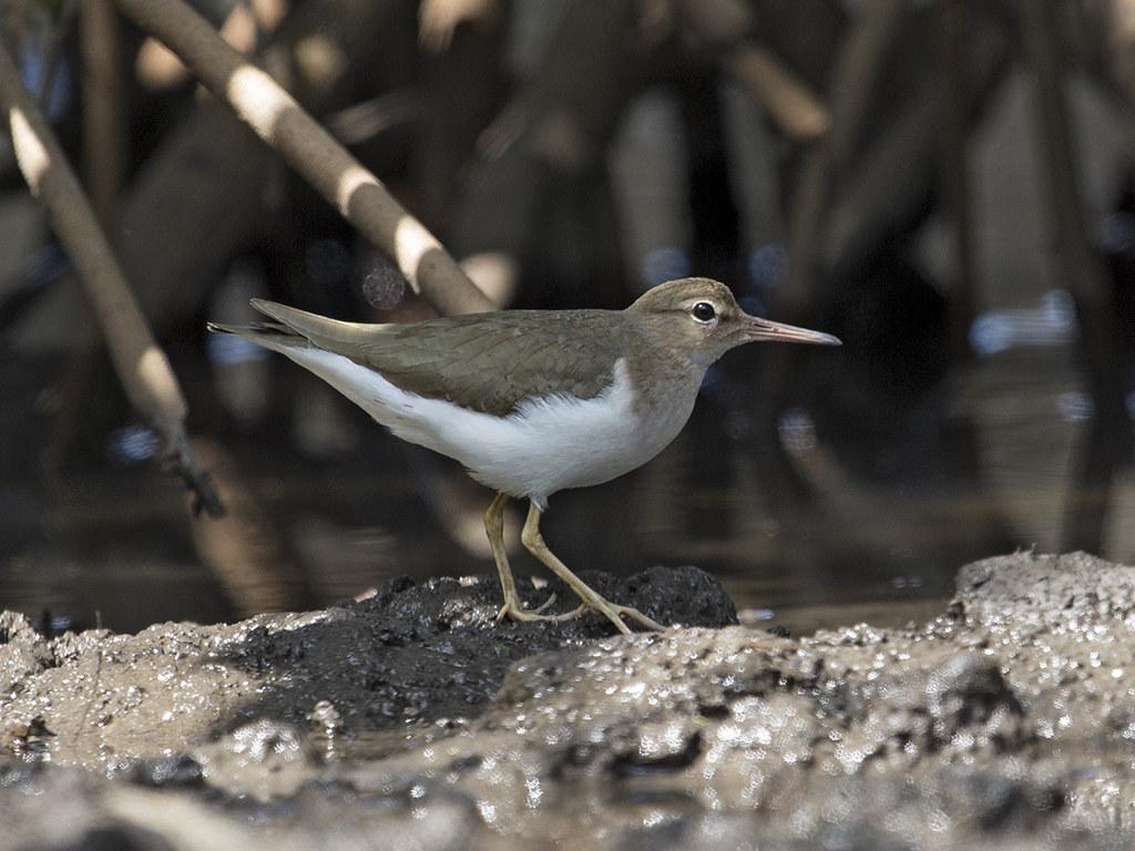 Spotted Sandpiper   Cuba