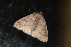 Theria rupicapraria
