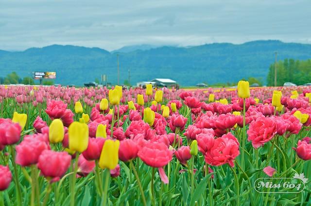 Abbotsford Tulip Festival