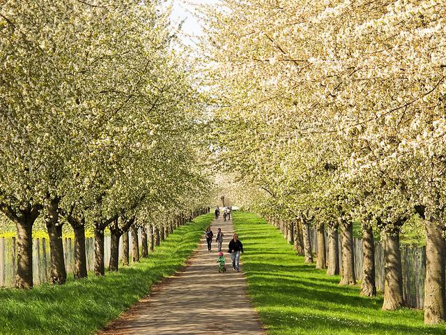Wild Cherry Trees