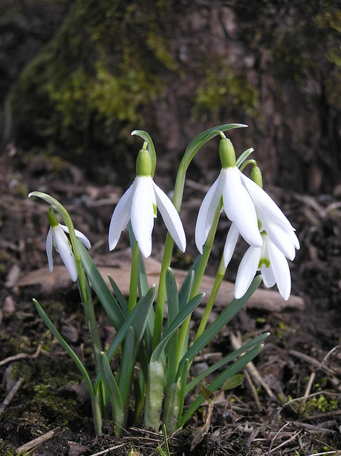 Galanthus nivalis 'Keeleke'