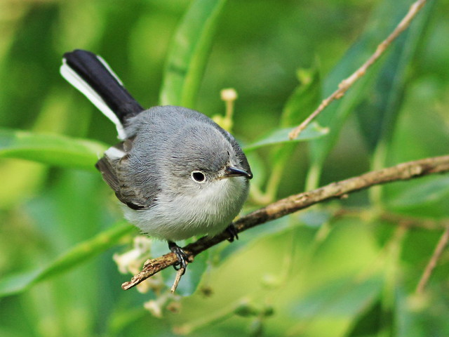 Blue-gray Gnatcatcher 4-20160119