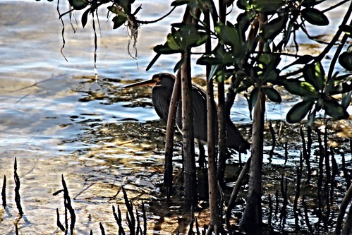 IMG_6999_Tri-Colored_Heron_at_Howard_Park