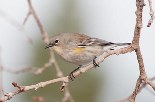 Yellow-rumped Warbler (Auduon's)
