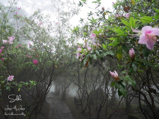 台北一日遊景點陽明山花季賞櫻花 (6)