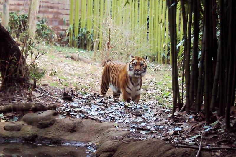 zoo_2016_tiger_3