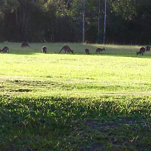 #biblejoe #pacificvalleychristianschool #kangaroo  These guys come out onto the school oval at the end of the day for a feed