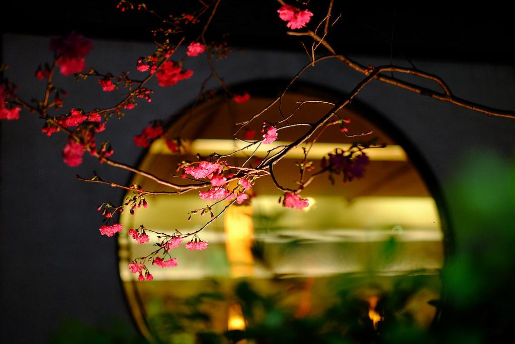 餐廳前的夜櫻