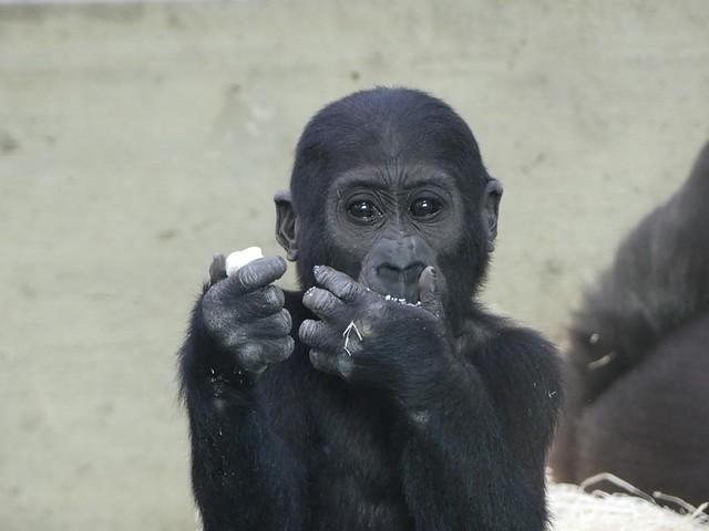 Wilhelma, Gorilla