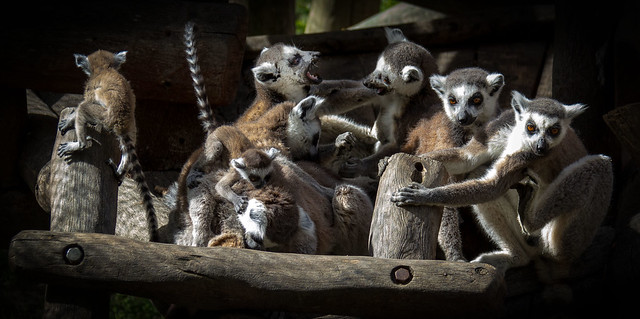Spain - Malaga - Estepona - Ring-tailed Lemurs