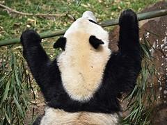 Panda Lunchtime #3