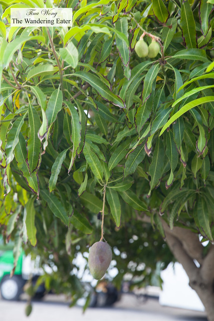 Mango Tree at the parking lot area of The Brasserie garden area
