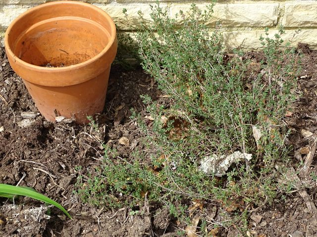 Rosemary with pot