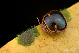 Globular shield bug (Plataspidae) - DSC_0829