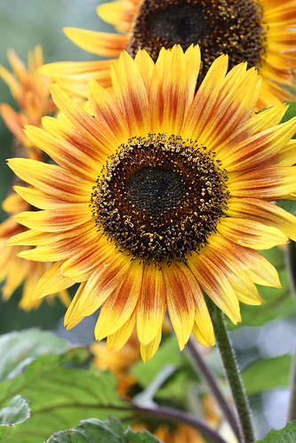 Sunflower florenza