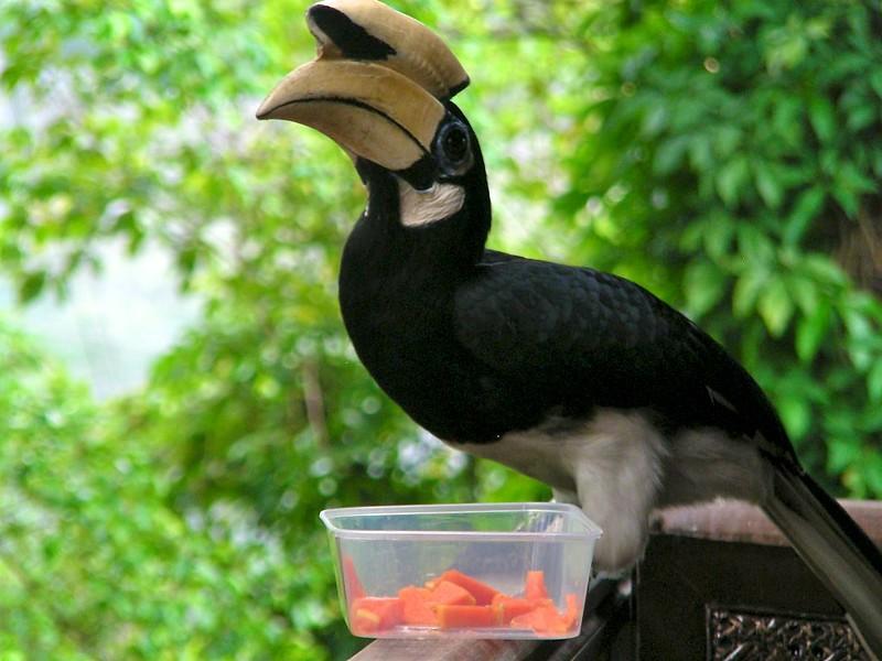 Anthracoceros albirostris // Oriental Pied-Hornbill  // Азиатская птица-носорог