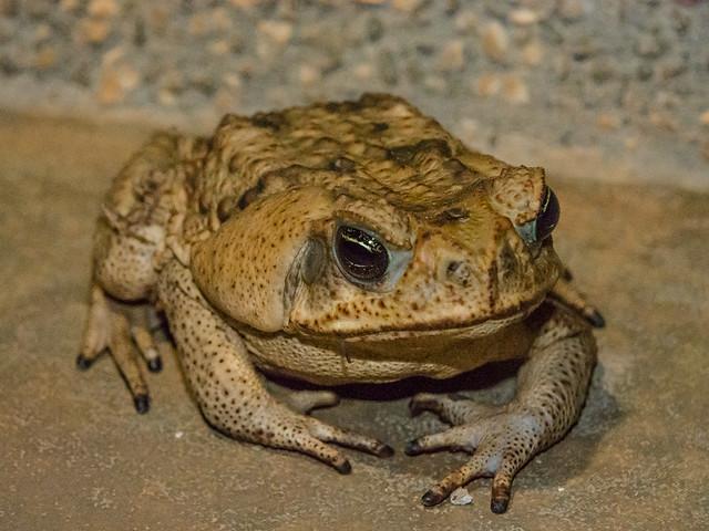 Cane/Marine toad