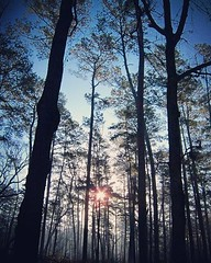 The sun shines through the tall pines on a glorious March morning. No time to fall back, gotta spring forward.  #DaylightSavings