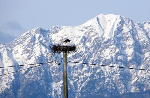 italy mountain snow bird nature italia nest stork cegonha cigüeña friuli storch ooievaar fagagna ciconiaciconia cicogne cicogna oasideiquadris feagne nest20