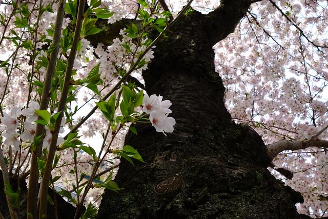 2016/034 叡山電車修学院車庫前の桜