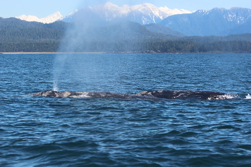 Gray whales near area of glider deployment