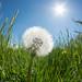 Bug's-eye view dandelion by szhorvat