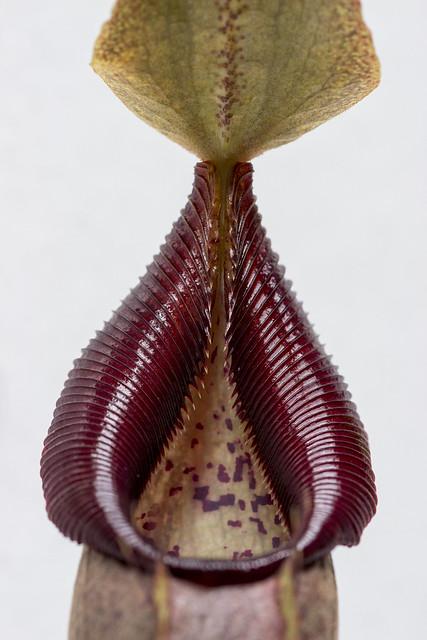 N. bongso