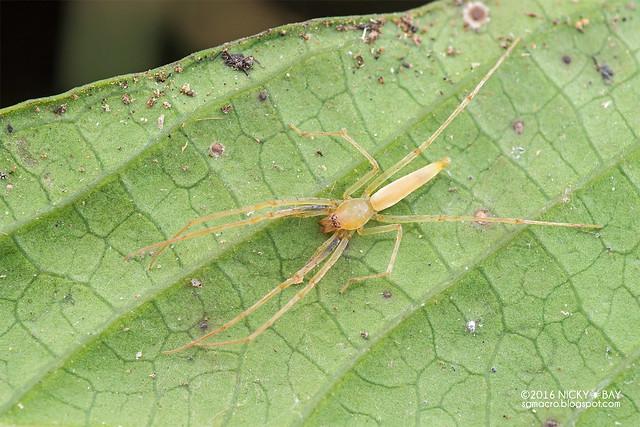 Sac spider (Clubionidae) - DSC_6614